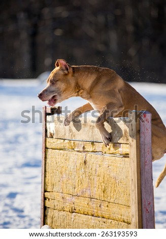 Dog breed American Pit Bull Terrier jumps over hurdle - stock photo