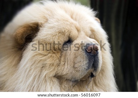 Dog breed Chow-chow ,  portrait close-up - stock photo