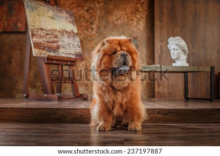 dog breed  chow chow, red dog on a retro vintage studio background - stock photo