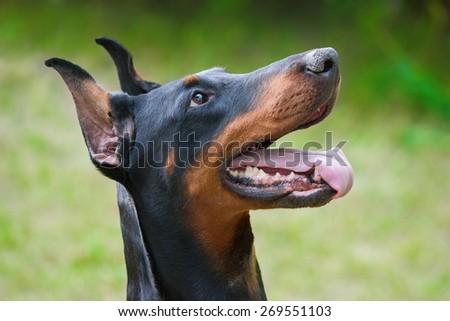Dog breed Doberman-Pinscher on a green background - stock photo
