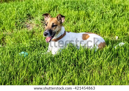 Dog breed fox terrier on a green glade - stock photo