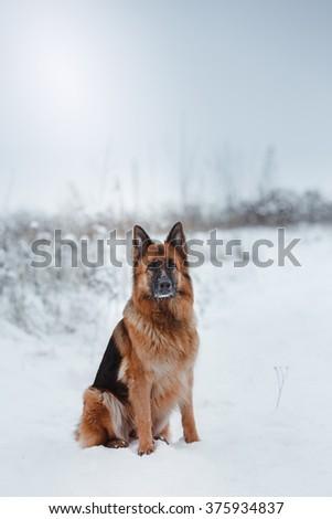 Dog breed German Shepherd walking in winter park - stock photo