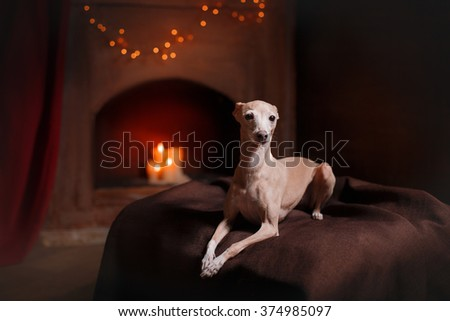 Dog breed Italian greyhound on a color background in studio  - stock photo