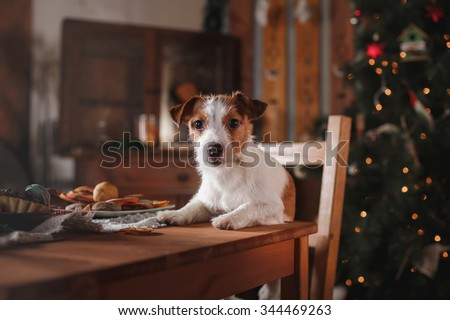 Dog breed Jack Russell Terrier holiday, Christmas and New Year - stock photo