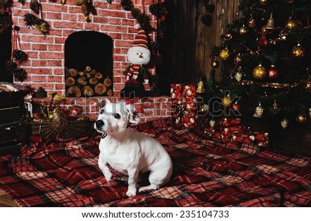 dog breed Jack Russell terrier lying beside the fireplace in the plaid under the Christmas tree.  - stock photo