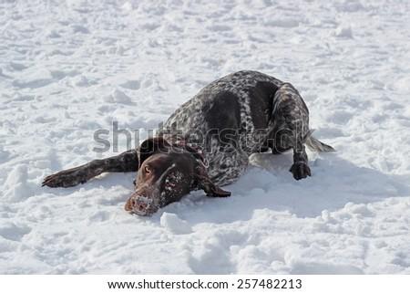 dog breed kurtshaar - stock photo