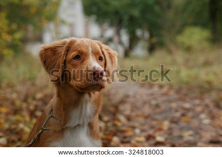 Dog breed Nova Scotia Duck Tolling Retriever walking in autumn park - stock photo