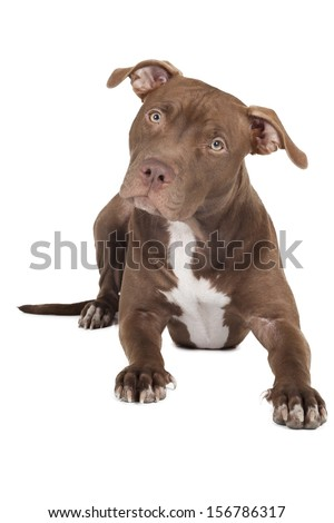 dog breed pit bull on a white background in studio - stock photo