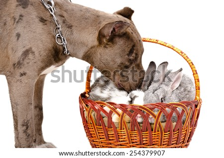 Dog breed pit bull sniffing rabbit sitting in a basket isolated on white background - stock photo