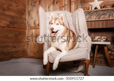 Dog breed siberian husky, portrait dog on a studio color background, Christmas and New Year. Dog lying on sofa near fireplace - stock photo
