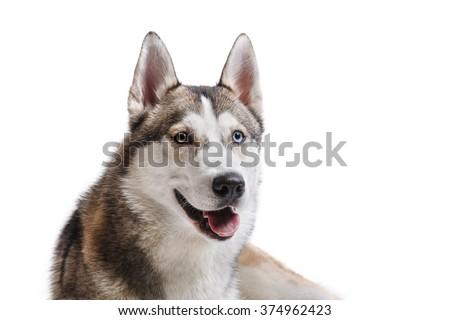 Dog breed Siberian Husky portrait on a white background - stock photo