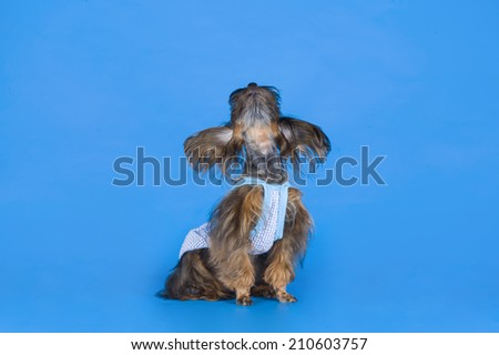 Dog Breed the Petersburg orchid on blue background  - stock photo