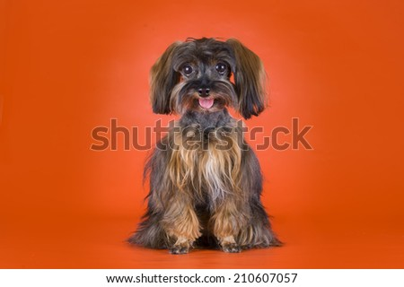 Dog Breed the Petersburg orchid on orange background  - stock photo