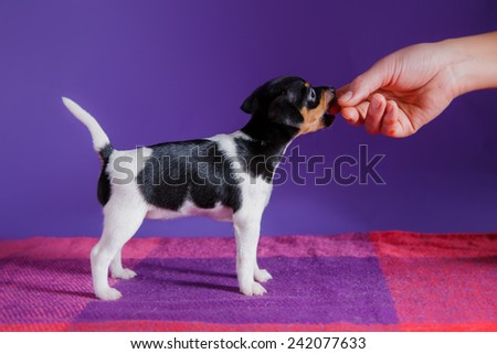 Dog breed Toy fox terrier puppy, Studio portrait puppy  on a red background - stock photo