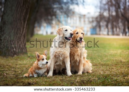 Dog breed Welsh Corgi Pembroke and Golden retriever walking in autumn park - stock photo