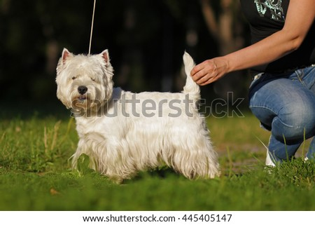 dog breed West highland white Terrier standing in show position in the Park before the show with handlers - stock photo