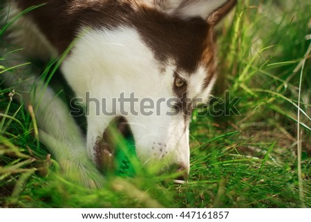 Dog breeds Siberian Husky with a bright green ball in his mouth - stock photo