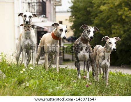 dog breeds whippet, greyhound hunting dog - stock photo