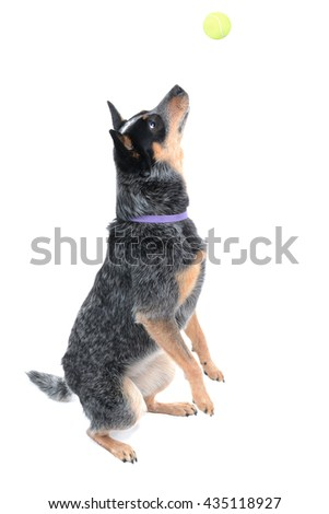 dog catching a ball isolated on a white background - stock photo