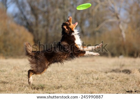 dog catching disc in jump - stock photo