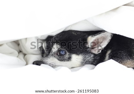 Dog Chihuahua hiding under the quilt on the bed - stock photo