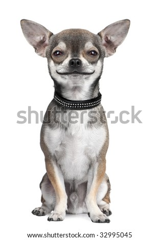 dog ( chihuahua ) looking at the camera, smiling, in front of a white background (Digital enhancement) - stock photo