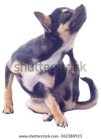 Dog chihuahua puppy scratching - stock photo