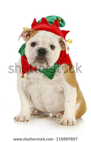 dog christmas elf - english bulldog dressed in elf costume sitting on white background - stock photo