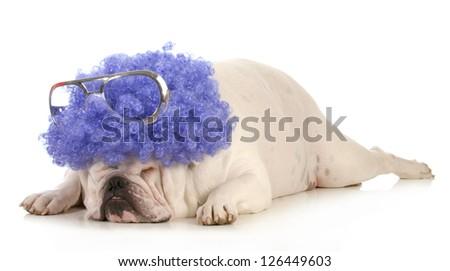 dog clown - bulldog dressed up like a clown with purple wig - stock photo