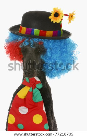 dog clown - standard poodle wearing clown wig, hat and tie on white background - stock photo
