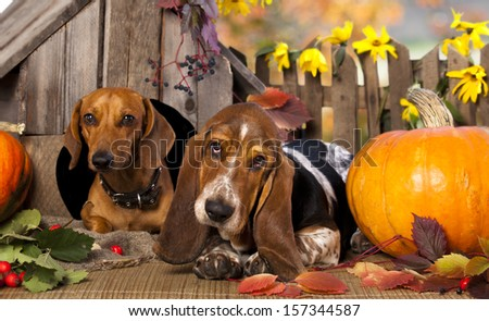 dog dachshund  and basset hound - stock photo