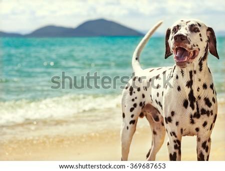Dog Dalmatian sea - stock photo