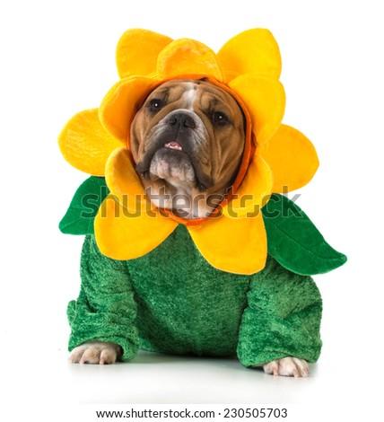 dog dressed like a flower - english bulldog wearing sunflower costume on white background - stock photo