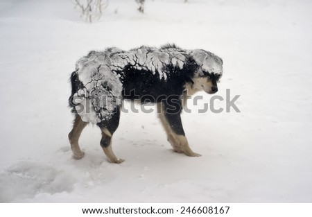 Dog during a snowstorm. - stock photo