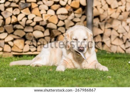 Dog eats a small herring - stock photo