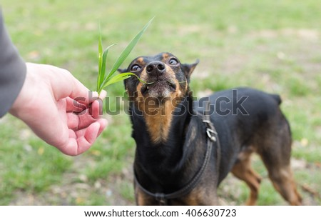 Dog eats grass from the hands of the owner. Dog breed Miniature Pinscher. - stock photo