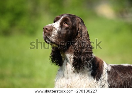 Dog English Springer Spaniel, portrait - stock photo