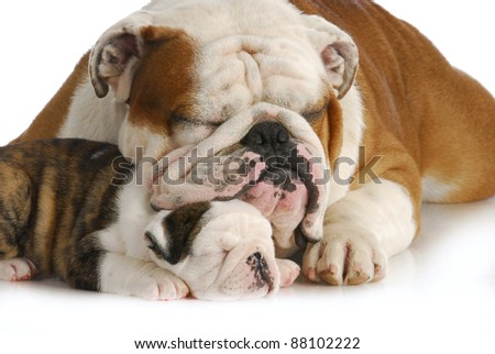 dog family - english bulldog father and daughter sleeping on white background - stock photo