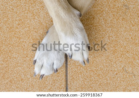 dog foot on the floor - stock photo