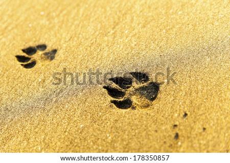 Dog footprints on beach - stock photo