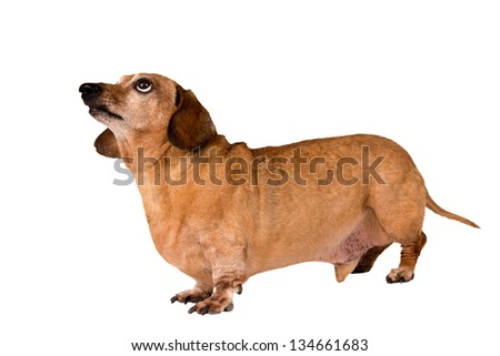 Dog Full Length Looking Up / Close Up/ Isolated On White - stock photo