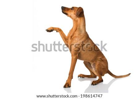 Dog give paw isolated on white - stock photo
