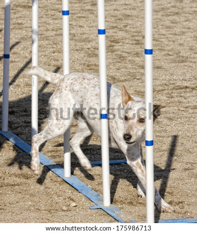 Dog going through weaves on agility course - stock photo
