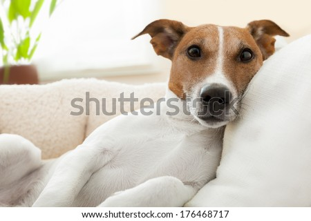 dog having a relaxing time in living room - stock photo