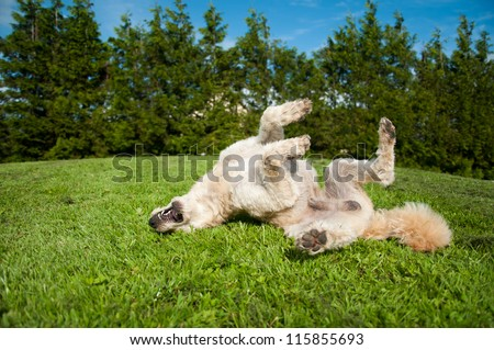 Dog having a roll on the grass - stock photo