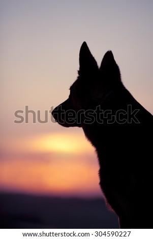 Dog head back light silhouette in sunset  - stock photo