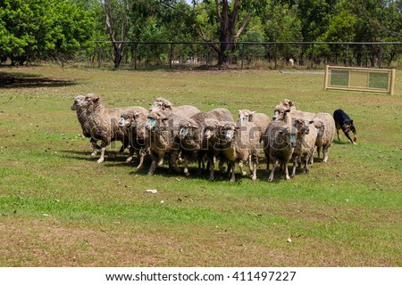 Dog herding sheep in Australia - stock photo