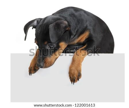 Dog hold empty paper isolated on white background - stock photo