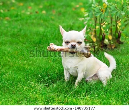 dog holding big bone in mouth - stock photo