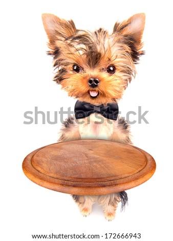 dog holding empty service tray on a white - stock photo